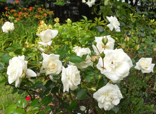 đặc điểm hoa hồng bạch nam định