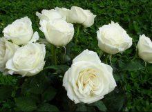 cách trồng và chăm sóc hoa hồng bạch nam định