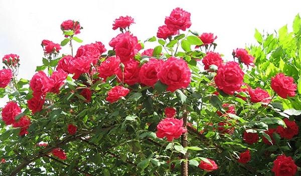 cách trồng và chăm sóc cây hoa hồng cổ hải phòng