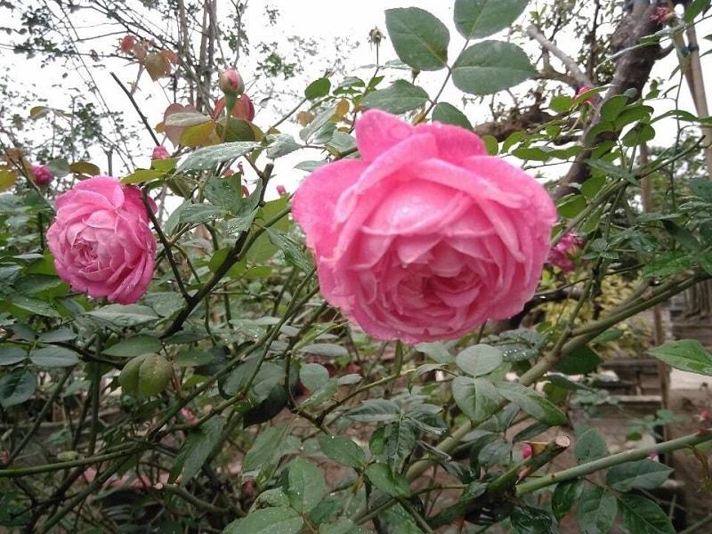 đặc điểm hoa hồng cổ sapa