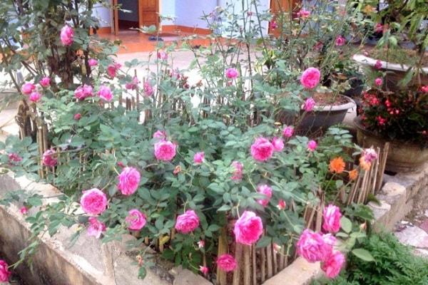 cách trồng và chăm sóc cây hoa hồng cổ sapa