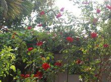 đặc điểm hoa hồng cổ sơn la