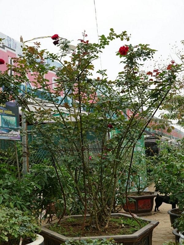 cách trồng và chăm sóc cây hoa hồng cổ sơn la