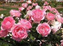 tác dụng của hoa hồng đà lạt