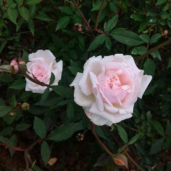 tác dụng của hoa hồng đào cổ