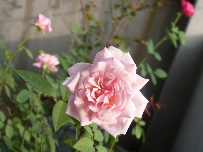 cách trồng và chăm sóc cây hoa hồng đào cổ