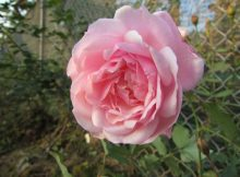 hoa hồng điều